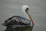 Braunpelikan aus der Nähe. Braunpelikane sind sie zwar leichter und schlanker als andere Pelikan-Arten, aber immer noch eindrucksvoll