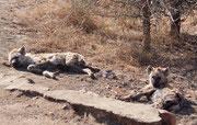 Mit rund 50km fuhren wir in der heissten Mittagszeit dahin (mehr darf man im Krüger NP nicht fahren), als wir unmittelbar am Strassenrand zwei im spärlichen Schatten recht gut getarnten Tüpfelhyänen (Crocuta crocuta) (= grösste Hyänenart) entdeckten.