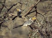 Östlicher Gelbschnabeltocko (Tockus flavirostris) (Samburu)