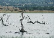"""Am Nordufer des Mankwe Stausees gibt es einen sogenannten """"Hippo Loop"""" und in der Tat kann man dort von einem Aussichtspunkt aus die Flusspferde (Hippopotamus amphibius) am Seeufer sehen – und hören."""