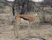 Und auch dieser männliche Springbock (Antidorcas marsupialis) macht einen eher gut genährten Eindruck.