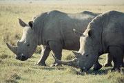 """Man sieht deutlich, warum sie Breitmaulnashörner genannt werden. Der zweite Artname Weisses Nashorn geht auf eine Fehlübersetzung zurück: Die Buren nannten das breite Maul wyd (=breit) und die Engländer machten daraus """"white""""."""