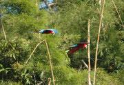 Die wegfliegenden grünen Papageienvögel wurden nun abgelöst durch grössere Kaliber, nämlich die dunkelroten oder Grünflügelaras (Ara chloroptera). Sie sind etwa 90 cm lang und damit die zweitgrösste Ara Art der Welt.