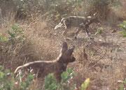 In Hoedspruit werden auch Hyänenhunde (Afrikanische Wildhunde) (Lycaeon pictus) gehalten und gezüchtet. Leider haben wir diese faszinierenden, heute sehr gefährdeten Tiere auf unseren Reisen bisher nie in freier Wildbahn beobachten können.