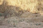 Hier zeigt sich die Wirkung des Tarngefieders dieser Frankoline sehr gut. Deshalb ist die Bestimmung auch schwierig. Es dürfte sich um ein Weibchen des Coquifrankolins (Francolinus coqui) mit seinen Jungen handeln, die nach Insekten und Samen suchen.