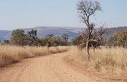 Das Loskop Dam Naturreservat misst 230 km2 (einschliesslich des Stausees). Der Ausflug in die so typische Gras- und Buschlandschaft ist mir vor allem aus einem Grund unvergesslich: Kein Zivilisationslärm sondern nur absolute Stille!
