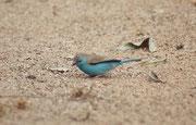 """Beim Frühstück im Restaurant des Camps """"Skukuza"""" hüpften diese Angola Schmetterlingsfinken (Uraeginthus angolensis) um unseren Tisch herum. Viele ihrer Artgenossen führen bei uns als """"Prachtfinken"""" ein Leben in sterilen und unstrukturierten Vogelkäfigen."""