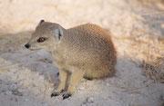 Fuchsmangusten (Cynictis penicillata) sieht man, wie hier bei der Wasserstelle Salvadora, auch am Tag, aber effektiv sind sie nachtaktiv. Ihre unterirdischen Bauen teilen sie oft mit Erdmännchen und Kap-Borstenhörnchen. Sie leben in kleinen Familiengruppe