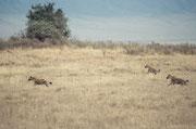 Es  gibt im Ngorongoro NP natürlich auch noch andere Raubtiere: So sahen wir am frühen Morgen auch eine Gruppe von Total 5 Tüpfelhyänen (Crocuta crocuta) (auf dem Bild sind nur 3). Es war uns nicht klar, ob sie von der Jagd kamen oder auf Jagd gingen.