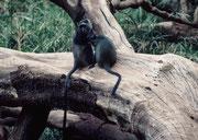 Diademmeerkatzen (Cercopthecus mitis). Eine Begegnung mit ihnen ist nicht selbstverständlich (Lake Manyara NP)