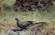"""Im Innenhof des Forts sieht und vor allem hört man auch den Graulärmvogel (Corythaixoides concolor), den """"Go away-Bird"""", der seinen Namen wahrlich zu Recht trägt, reicht doch sein Geschrei frühmorgens, um ein Weiterschlafen unmöglich zu machen."""