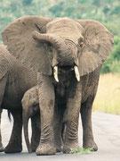 Wir wussten, dass es im Pilanesberg NP auch Elefanten (Loxodonta africana) gibt, aber wir suchten die Riesen zwei Tage lang vergeblich. Kurz vor dem Verlassen des Parks standen wir dieser etwas nervösen Herde mit Jungtieren doch noch Aug in Auge gegenüber