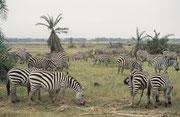 Grant-Zebras (Equus quagga boehmi) in ungewöhnlicher Palmlandschaft (Amboseli)