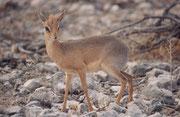 """Ein Kirk-Dikdik Böckchen (Madoqua kirkii). Im Gegensatz zu anderen Antilopen leben Dikdiks in Paaren, die ein Leben lang zusammenbleiben. Der Name stammt von ihrem Alarmruf, der wie """"dik-dik"""" tönt und auch andere Tiere warnen kann."""