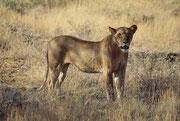 Nachdem wir die Tiere fast zwei Stunden lang hatten beobachten können, zogen sie sich etwas zurück (Samburu)