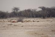 Und am dritten Tag waren die Löwen verschwunden. Dafür hatten die Schabrackenschakale (Canis mesomelas) vom Kadaver Besitz ergriffen. Wir zählten bis zu 20 Tiere aufs Mal, welche sich über die Reste der Giraffe hermachten.