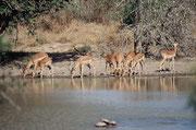 """Üblicherweise trifft man Impalas als Junggesellengruppen oder als Weibchenherden, die von einem Männchen """"beansprucht"""" werden.. Hier sind es ausnahmsweise zwei Männchen. Im Vordergrund befinden sich drei Wasserschildkröten."""