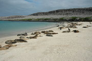 An diesem Sandstrand von Santa Fe, konnten wir zusammen mit Seelöwen im Meer schwimmen. Sie umkreisten uns sehr neugierig im Wasser, aber waren nicht aggressiv. Die Mütter und Jungtiere am Strand werden von im Meer patrouillierenden Männchen beschützt.