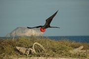 Unseren letzten Halt machten wir auf der Insel Seymour Norte. Bereits an der Küste wurden wir begrüsst von Prachtfregattvögeln (Fregata magnificens). Die Art ist an der amerikanischen Pazifik- und Atlantikküste verbreitet.