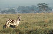 Wie der Nairobi NP befinden sich auch Teile des Lake Nakuru National Parks in Sichtweite der Stadt Nakuru, allerdings ist dieser National Park nicht so sehr von allen Seiten eingeengt. Im Vordergrund ein schöner Grant Zebra Hengst (Equus quagga boehmi).