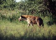 Auf demselben Strassenabschnitt (!) begleiteten uns wenig später längere Zeit drei Tüpfelhyänen in bester Kondition. Erst aus der Nähe sahen wir, wie mächtig diese grösste Hyänenart eigentlich ist (Schulterhöhe: 77-81 cm, Gewicht 45 bis 55 kg).