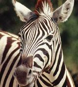 Jedes Zebra hat ein individuelles Streifenmuster, das in Details von demjenigen der anderen Artgenossen abweicht. Charakteristisch für diese Wildpferdeart ist die aufrechte Mähne.