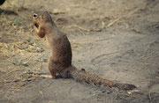 Bei diesem Tierchen handelt es sich sehr wahrscheinlich um ein Schlichtborstenhörnchen (Xerus rutilus). Diese Tiere leben in kleinen sozialen Gruppen. Sie sind tagaktiv und verbringen die Nacht meist in ihren schützenden unterirdischen Bauten. (Amboseli)