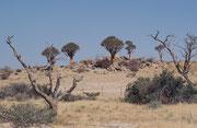 """Einige schöne Köcherbäume (Aloe dichotoma). Der Name leitet sich vom griechischen Wort dichotomos (geteilt) ab und verweist auf die zweigabligen Äste. """"Köcherbäume"""" heissen sie, weil die San hohle, trockene Äste als Köcher für ihre Pfeile gebraucht haben."""
