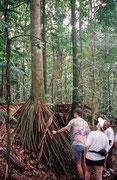 Baum mit Pfahlwurzeln im Regenwald in der Nähe von Mt. Saint Catherine