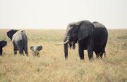 Heute sieht man in der Serengeti auch vermehrt wieder Jungtiere und kleine Kälber, wie dieses kleine Kerlchen, welches unternehmungslustig seine grossen Ohren abspreitzt. Na ja, bei diesem Schutz durch den grossen Bullen lässt sich einfacher frech sein.