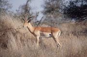Auch wenn das Impala im Krüger NP allmählich zur gewohnten Erscheinung wird, kann man sich der eleganten und gleichzeitig kraftvollen Erscheinung dieser schönen Antilope nicht entziehen, besonders wenn das Sonnenlicht sie geradezu golden erscheinen lässt.