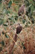 """Braunflügel-Mausvögel (Colius striatus) am Ufer des Letaba Rivers beim gleichnamigen Camp (""""Letaba""""). Ihren Namen verdanken sie, weil sie, wie Mäuse, gesellig leben, der grauen Gefiederfarbe und der Eigenart, durch das Gebüsch zu huschen und zu klettern."""