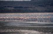 Weltbekannt ist der Nakuru Nationalpark durch die vielen Flamingos, welche im alkalischen Wasser des Lake Nakuru ihre Nahrung finden: Blau-grüne Algen.
