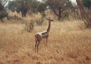 Gerenuk oder Giraffengazelle (Weibchen, Tsavo East)