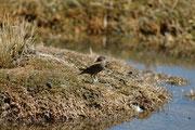 Und das könnte der Andensporntyrann (Lessonia oreas) sein. Ebenfalls im Bofedal de Parinacota