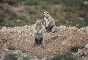 Bei diesen putzigen Tierchen handelt es sich wahrscheinlich um Kap-Borstenhörnchen (Xerus inauris).