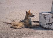 """Auch dieser Schabrackenschakal (Canis mesomelas) profitierte vom Schatten, den ein Wegweiser in der Hitze des Morgens auf die Strasse zur Wasserstelle """"Andoni"""" warf und machte eine kleine Ruhepause."""