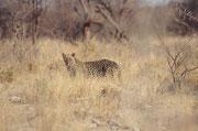 In der Nähe der Wasserstelle Kalkheuvel, entdeckten wir plötzlich diesen Leopard unmittelbar neben der Strasse. Es reichte gerade, um ein Bild zu schiessen - und schon war das schöne Tier wieder im hohen Gras unseren Blicken entschwunden…