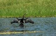Schlangenhalsvogel (Anhinga anhinga). Weil sein Gefieder nicht wasserabstossend ist und richtig nass wird, muss er hie und da seine Flügel in der Sonne ausbreiten, um die Federn zu trocknen.