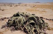 In der Welwitschia Ebene, wachsen, über eine grosse Fläche verstreut, ca. 6000 Welwitschias (Welwitschia mirabilis). Die Pflanze kommt nur in der Namibwüste in Namibia und Angola vor und ist auf dem Wappen Namibias abgebildet