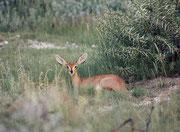 """Steinböckchen, """"Steenbok"""" (Raphicerus campestris), eine Zwergantilope mit ca. 50 cm Schulterhöhe. Sie kommt übrigens nicht in bergigen und felsigen Bereichen vor. Das Männchen hat kleine, spitze Hörnchen. Dies hier ist also ein Weibchen."""