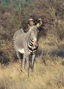 Auf diesem Bild sieht man die auffallenden Ohren. Grevy-Zebras leben nicht in grossen Herden, sondern in kleinen Gruppen, die nicht das ganze Jahr zusammenbleiben (Samburu)