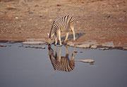 Und frühmorgens sind an der Wasserstelle in Halali auch schon wieder die ersten Gäste da...Hier wiederum ein Burchell-Zebra (E. q. burchellii) mit seinen fast weissen Beinen und den braunen Zwischenstreifen.