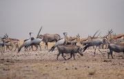 Nur wenige Augenblicke später verändert sich das Bild und zu den Südafrikanischen Oryx, Springböcken, Streifengnus und Paradieskranichen gesellen sich nun auch noch ein paar Warzenschweine (Phacochoerus africanus).