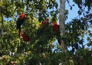 Begrüsst wurden wir im Manu Wildlife Center von Hellroten Aras (Ara macao). Sie waren kaum zu übersehen, vor allem aber nicht zu überhören. Im Park gibt es aber noch etwa 800 andere Vogelarten.