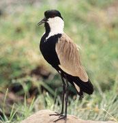 Spornkiebitz (Vanellus spinosus) (Lake Manyara NP)