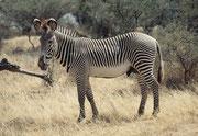 Im Norden Kenias findet man die wunderschönen Grevy-Zebras (Equus grevyi) mit den grossen Ohren und dem feinen Streifenmuster. Hier eine Stute(Samburu)