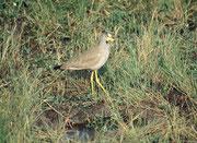 Senegalkiebitz (Vanellus senegallus) (Masai Mara)