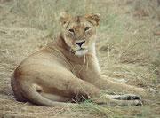 Allmählich wird es auch den erwachsenen Löwen zu unruhig, sie wachen auf und ziehen sich dann etwas zurück.