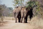 """Im Krüger Park muss man immer wieder Elefanten den Vortritt lassen. Auch in dieser Situation ist es ratsamer zu verlangsamen oder gar anzuhalten und zu warten, bis sich die riesigen Tiere anschicken sich seitwärts """"in die Büsche zu schlagen""""."""